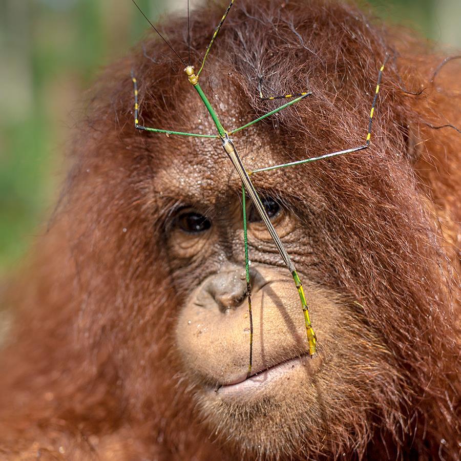 Ein junger Orang-Utan mit einem Insekt im Gesicht