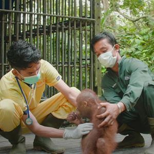 Medizinische Mitarbeitende untersuchen ein Orang-Utan-Baby