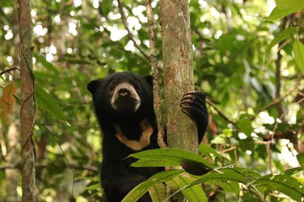 Ein junger Malaienbär