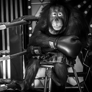 Ein Orang-Utan mit Boxhandschuhen als Tourismusattraktion in Thailand