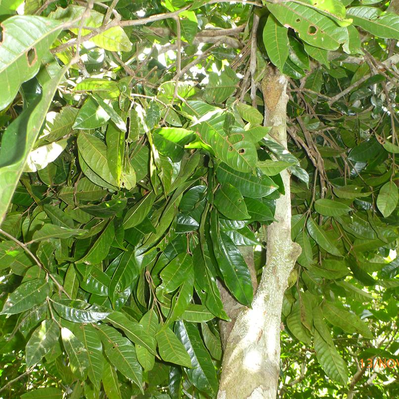 Schlafnest eines wilden Orang-Utan-Männchens