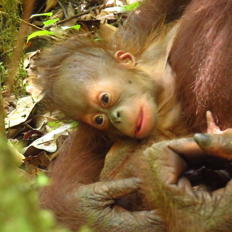 Orang-Utan-Mutter Signe mit ihrem Baby im KJ7-Wald