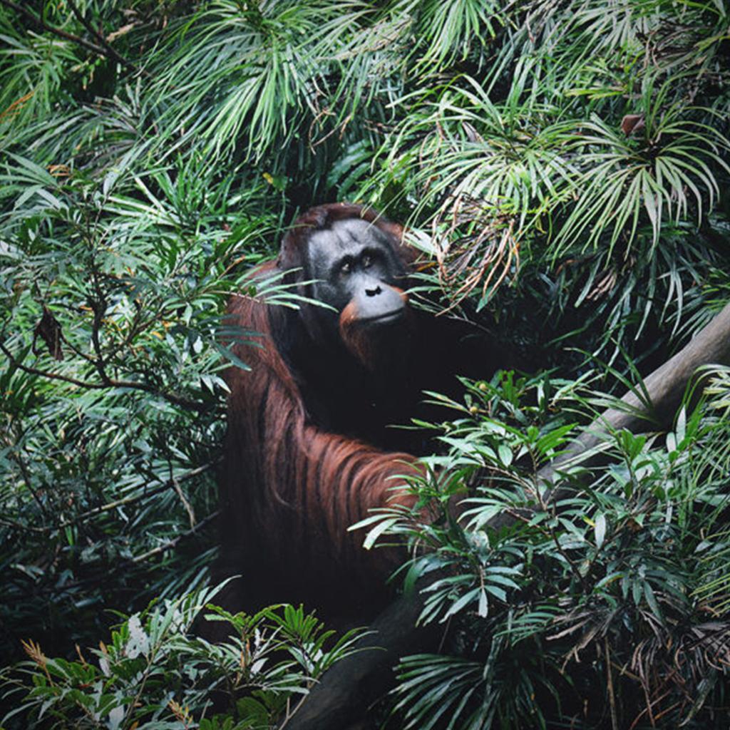 Orang-Utan-Männchen Romeo im dichten Grün