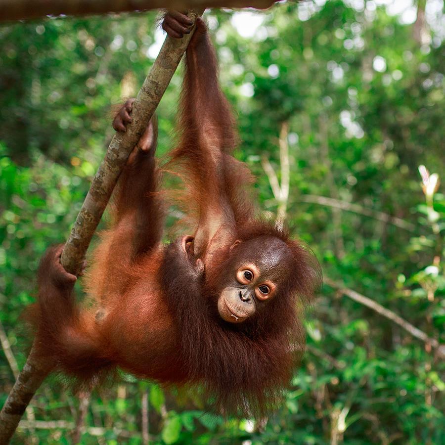 Orang-Utan Topan hält sich an einem Ast fest