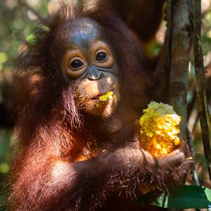 Orang-Utan-Baby Topan isst ein Stück Mais