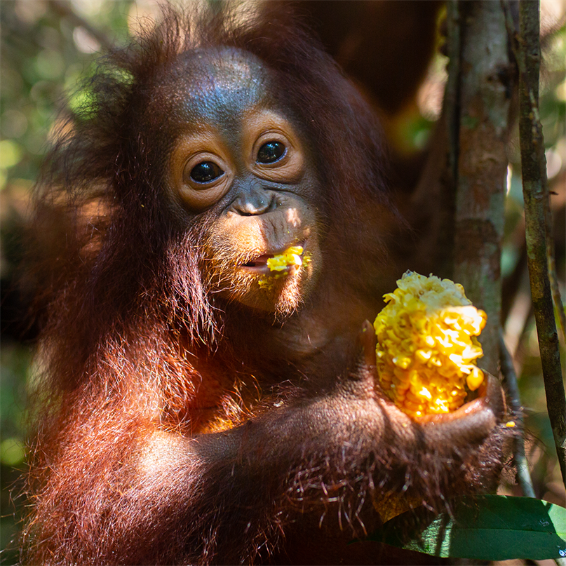 Das junge Orang-Utan-Weibchen Topan isst ein Stück Mais