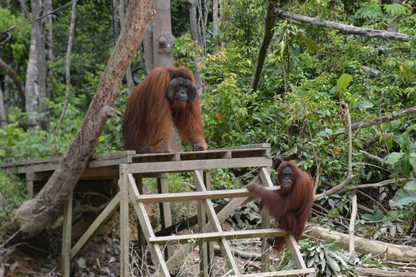 Zwei Orang-Utans auf einem Klettergerüst