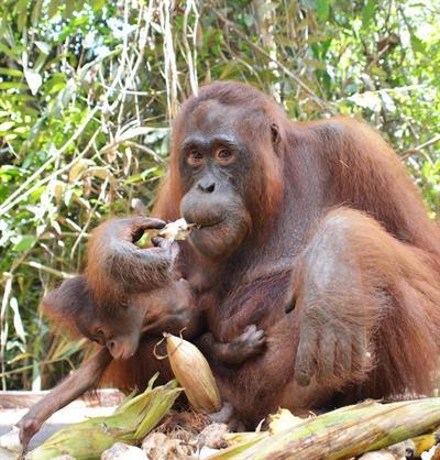 Unglaubliche Beobachtung: Orang-Utan-Mutter Vista und ihr Baby