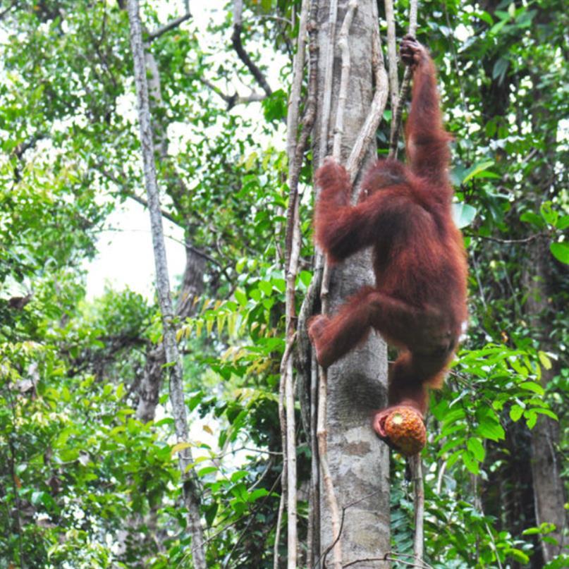 Waldschüler Uru klettert einen Baum hinauf