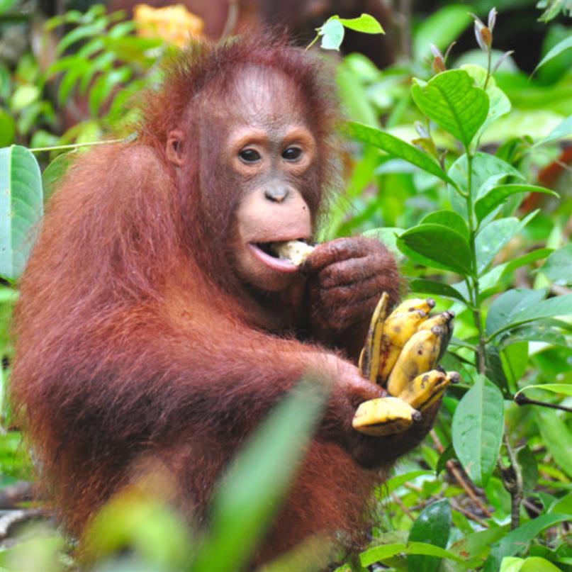 Waldschüler Uru geniesst eine Banane zum Znüni