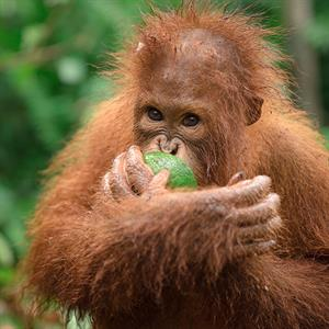 Ein junger Orang-Utan isst eine Frucht