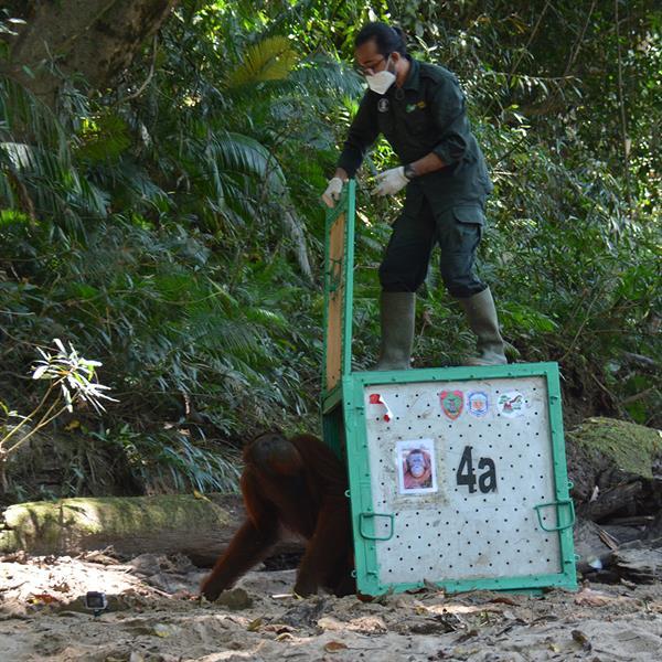 Auswilderung des Orang-Utan-Männchens Noel