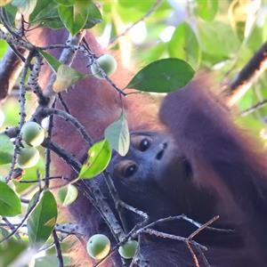 Pouteria malaccensis cf., Nahrungspflanze Orang-Utans