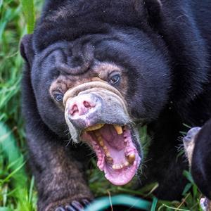 Viele Bären brauchen eine Behandlung
