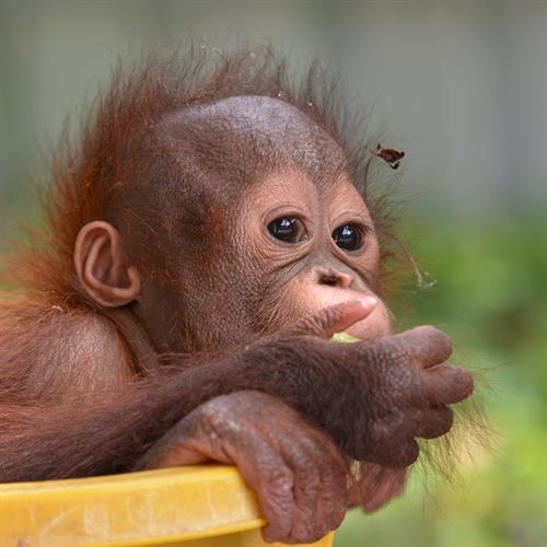 Gerettetes Orang-Utan-Baby Onyer