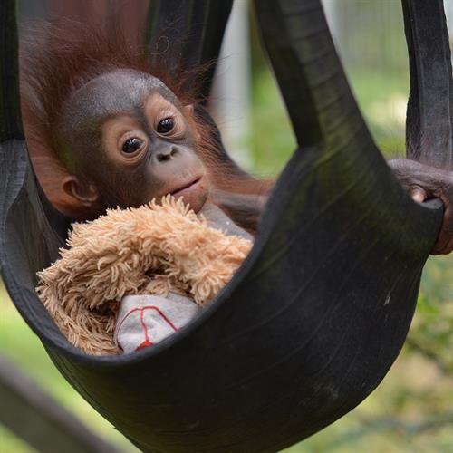 Gerettetes Orang-Utan-Baby Ramangai