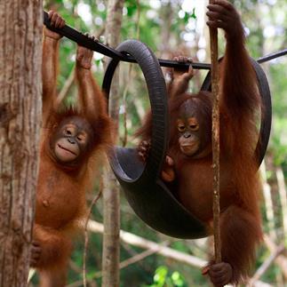 Junge Orang-Utans am Klettern
