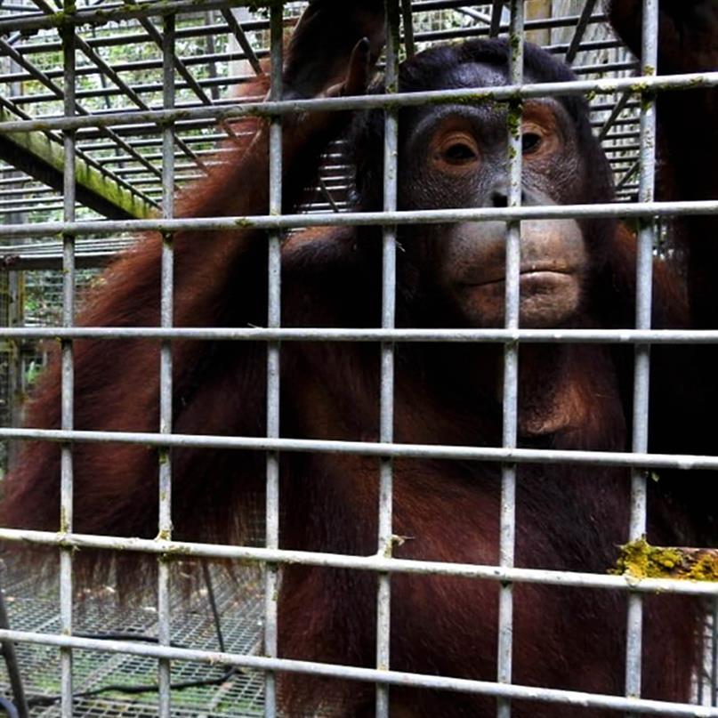 Orang-Utans mussten in den Sozialisierungskomplex verlegt werden