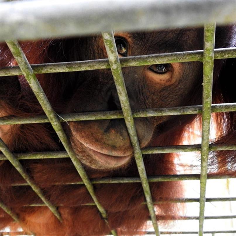 Orang-Utans mussten in den Sozialisierungskomplex zurückverlegt werden