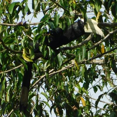 Vogelbeobachtung auf der Insel Juq Kehje Swen: Anthracoceros malayanus