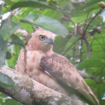 Vogelbeobachtung auf der Insel Juq Kehje Swen: Aviceda jerdoni