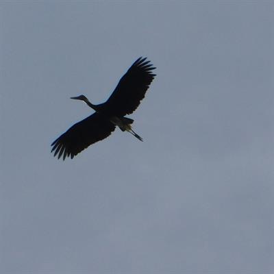 Vogelbeobachtung auf der Insel Juq Kehje Swen: Ciconia stormi