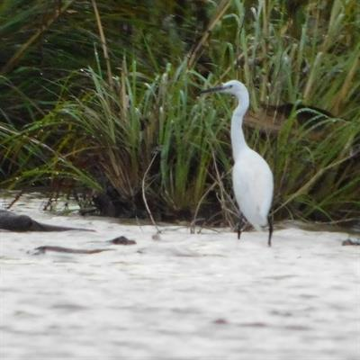 Vogelbeobachtung auf der Insel Juq Kehje Swen: Egretta garzetta