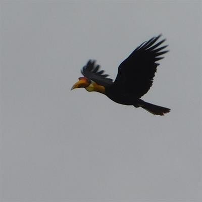 Vogelbeobachtung auf der Insel Juq Kehje Swen: Rhyticeros undulatus