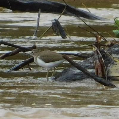 Vogelbeobachtung auf der Insel Juq Kehje Swen: Tringa hypoleucos