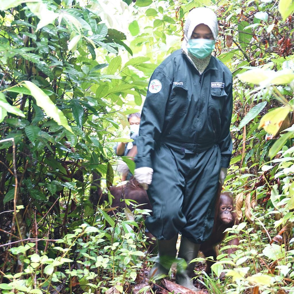 Eine Ersatzmutter mit kleinen Orang-Utans auf dem Weg in die Waldschule