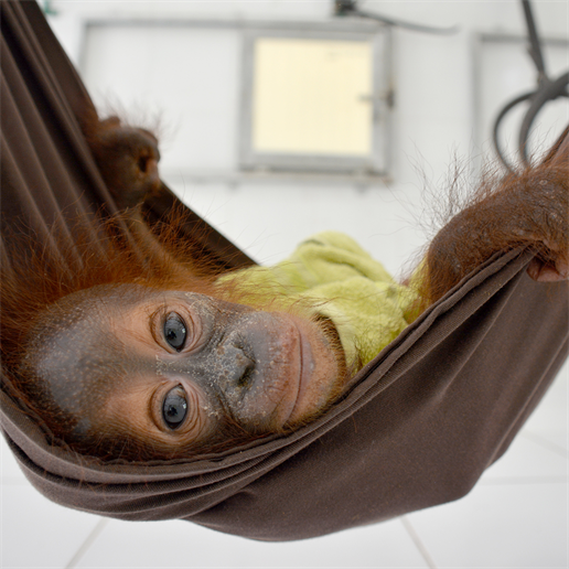 Das erste gerettete Orang-Utan-Baby 2020