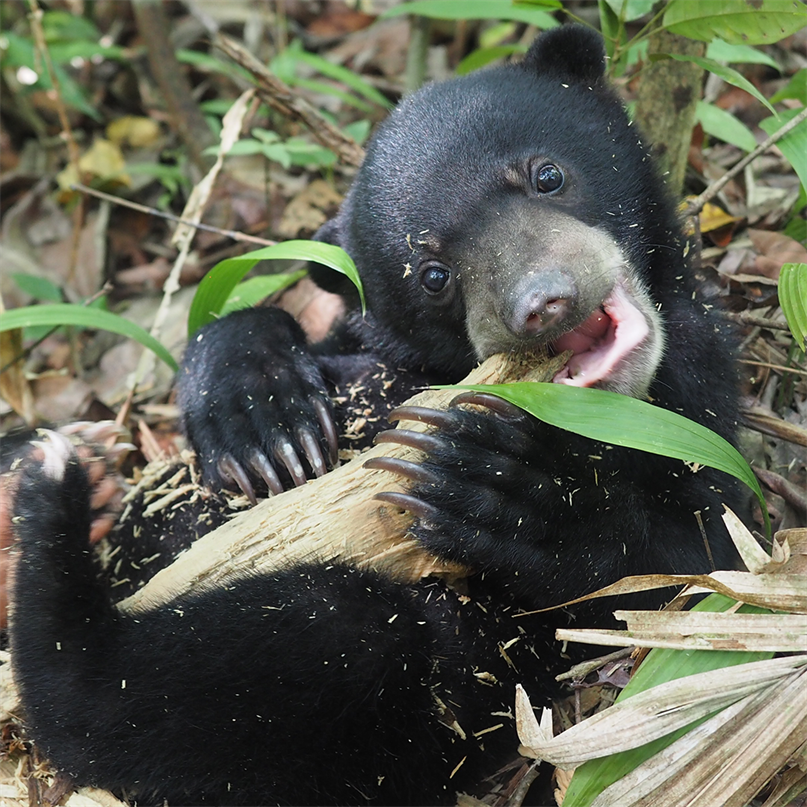 Ein junger Malaienbär im Grünen