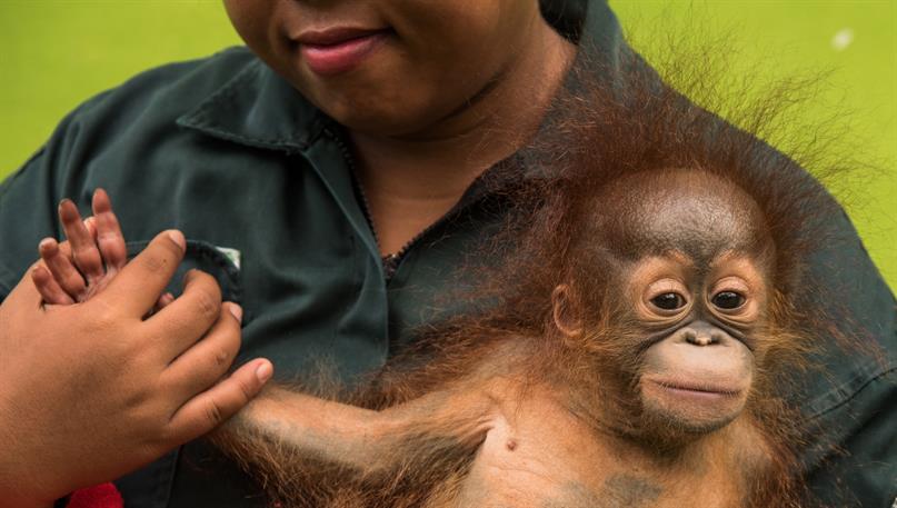 Unglaubliche Ersatzmütter und Babysitterinnen für die Orang-Utan-Babys