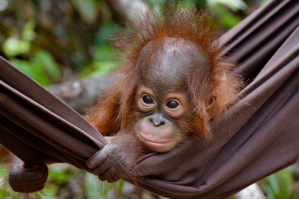 Ein Orang-Utan-Baby in einer Hängematte