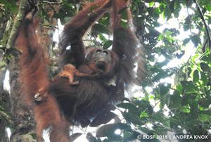 Orang-Utan-Mami Compost mit Baby (Bild: BOS Stiftung)