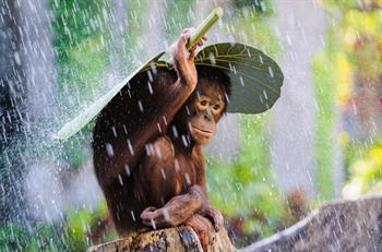 Orang-Utan im Regen