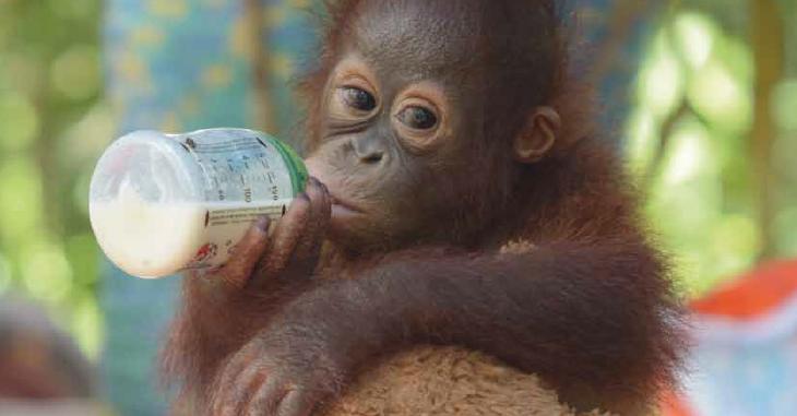 Ein Orang-Utan-Baby mit einer Milchflasche