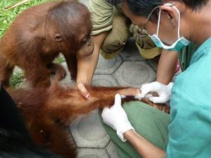 Orang-Utans in Gefahr - Infektionskrankheiten