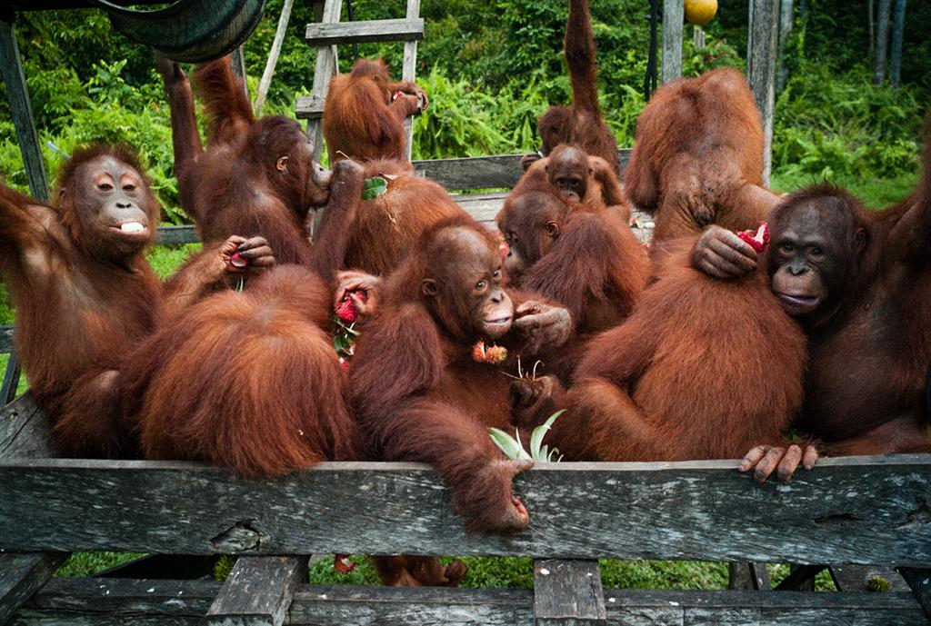 Orang-Utan-Waldschüler essen Früchte
