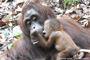 Orang-Utan-Mami Compost kurz nach der Geburt ihres Mädchens (Bild: BOS Stiftung)